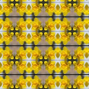 Daffodil circles