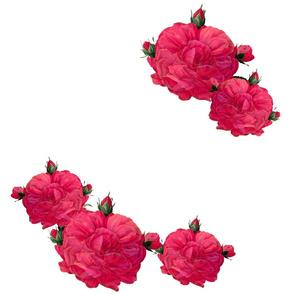 Redoute Rose ~ In Bloom ~ Shocking Pink!