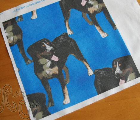 Posing Entlebucher mountain dog - blue