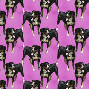 Posing Entlebucher mountain dog - pink