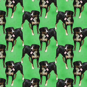 Posing Entlebucher mountain dog - green