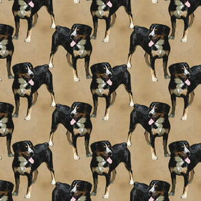 Posing Entlebucher mountain dog - tan