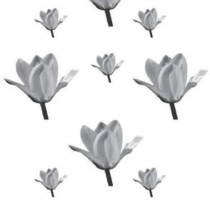 Six grey tulips
