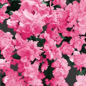 Photographic Pink Azaleas