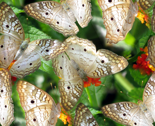 Rwhite_peacock_butterflies_thumb