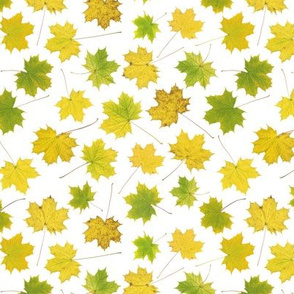 tiny maple leaves on white