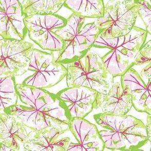Caladium - Pink Green