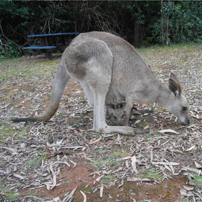 Joey is Looking out from Mum's Pouch (Ref. 1504)