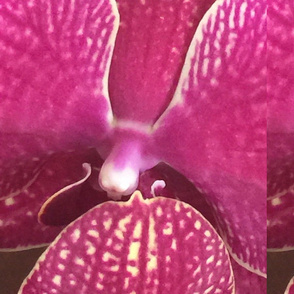 purple phaleonopsis orchid flower