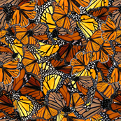 Australian_Wanderer_Butterflies_by_melanie_j_cook