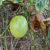 Passionfruit on the Tangled Vine - (Ref. 4275)