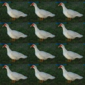 Duckie Parade (Ref. 4204)
