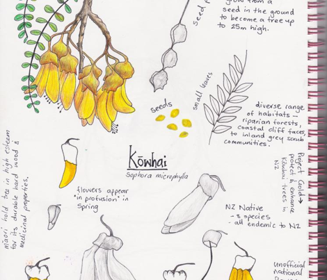 Branches of Kowhai