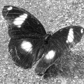 Great Eggfly  - big