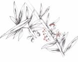 Rrweed_2_scan_thumb