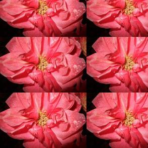 Bold, pink rose
