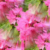 Rhodies in Pink