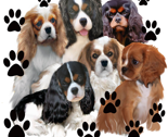 Rrcavalier_king_charles_spanielas_all_colors__thumb