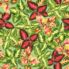 Scattered Coleus Plants Green Yellow Pink