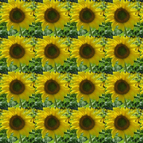 Pope_Farm_Sunflowers
