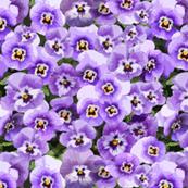 Winter Pansies Purple
