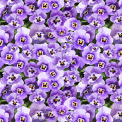 Winter Pansies Purple