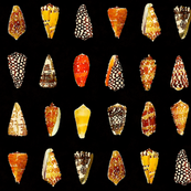 Watercolor cone shells