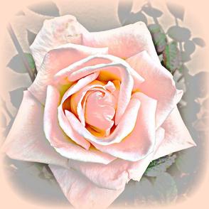 5 Star Rose Peach