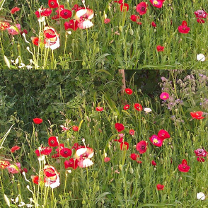 Poppy Garden 2015