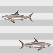 grey stripes sharks