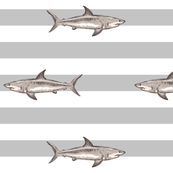 grey stripes sharks