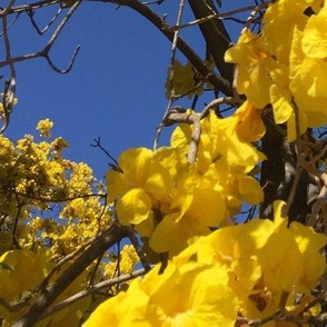 #SFDesignADay Photographic yellow flowering tree in Santa Paula