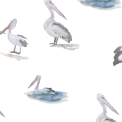 Painted Pelicans