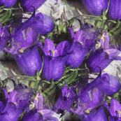 Violet Bell Flowers