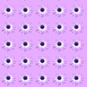 African_Daisy_Lilacs small