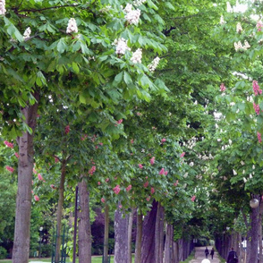 Chestnuts Trees, Paris