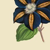 Clematis - Star of India