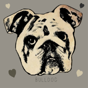 Bulldog on Gray