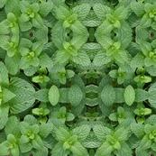 Mint - photograph