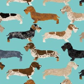 wire haired dachshunds dogs pet dog cute wild boar dachshunds blue dachshunds colors