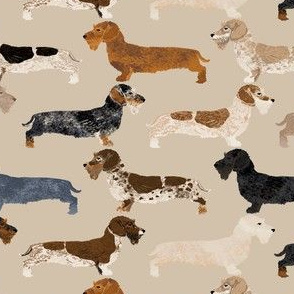 doxie wire haired doxie dogs tan dachshunds doxie wiener dogs