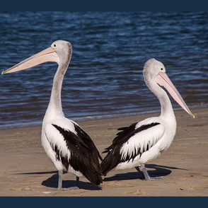 pelicans - tea towel/panel