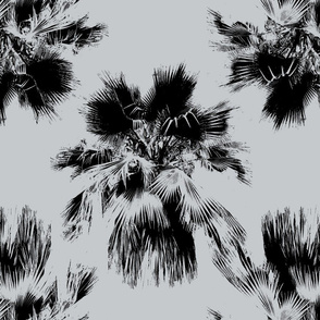 Ditsy Loulu Palm (Pritchardia beccariana)