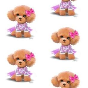 Miniature Poodle Toodles M