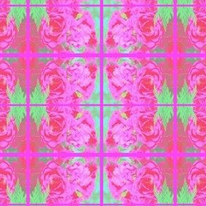 Cotton Candy Rose