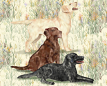 Rrchocolate_yellow_and_black_lab_in_wildflowers_2_thumb