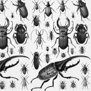 Beetles Insect Taxonomy Print Engraving Bug