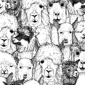 just alpacas black white