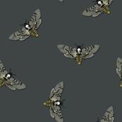 Grey Death's-head hawkmoth