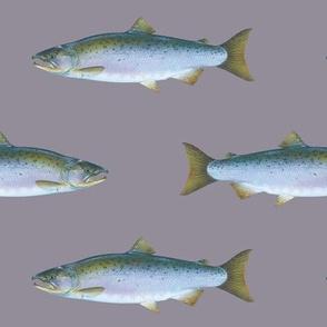 Coho salmon on purple-grey